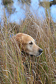 golden retriever head sticking out through tall grasses along marsh