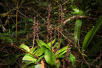 A healthy cluster of tall twayblade orchids in bloom in the Fakahatchee Strand.