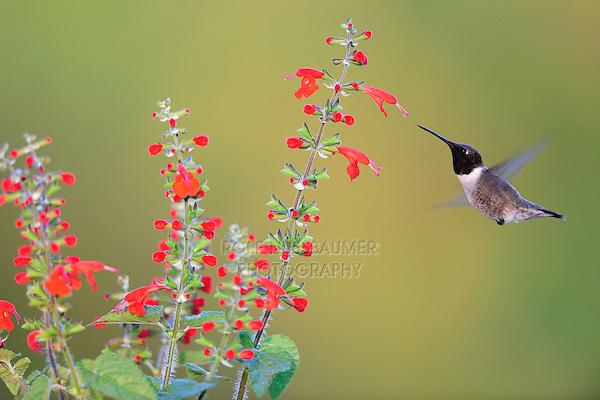 Black-chinned Hummingbird (Archilochus alexandri), male feeding on Tropical Sage (Salvia coccinea), Dinero, Lake Corpus Christi, South Texas, USA