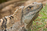 Isle San Jose; Area de Conservacion, Guanacaste Sector, Islas Murcielago (Bat Islands); Green Iguana (Iguana iguana) , Copyright © Matthew Meier, matthewmeierphoto.com All Rights Reserved