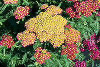 Achillea 'Strawberry Seduction' red yarrow