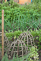 Wooden cloches on an allotment vegetable plot, mid June.