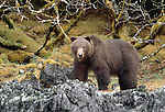 Brown bear walks along coastal rocks, Tongass National Forest, Alaska, USA