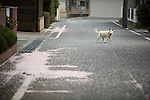"An abandoned dog roams along a street famed for having one of Japan's longest cherry blossom ""tunnels"" in Tomioka, Fukushima Prefecture, Japan on Wednesday 20 April  2011. Usually lively with party^goers at this time of the year, the streets of the town, which is located just a few miles from the leaking Fukushima No. 1 nuclear power plant, are deserted..Photographer: Robert Gilhooly"