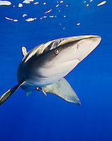 Oceanic Whitetip Shark, Carcharhinus longimanus, off Kona, Big Island, Hawaii, Pacific Ocean.