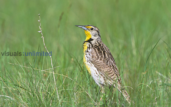 Western Meadowlark in prairie grasses (Sturnella neglecta), North America.
