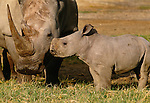 White Rhinoceros cow and calf, Lake Nakuru National Park, Kenya