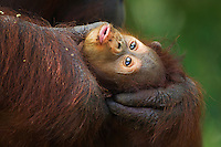 Young Bornean Orangutan (Pongo pygmaeus wurmbii) age 3-6 months, being groomed by, Gina, female orangutan, Camp Leakey, Tanjung Puting National Park, Central Kalimantan, Borneo, Indonesia. Rehabilitated and released (or descended from) between 1971 and 1995. Portrait taken June 2010.