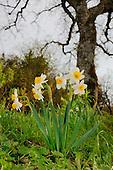 Cream Narcissus (Narcissus tazetta), Sicily, Italy