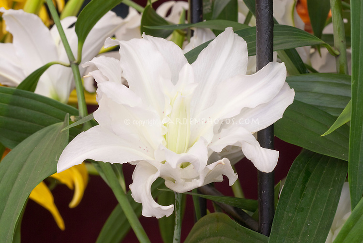 Double white lily Lilium 'Miss Lucy'