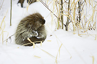 Porcupine sitting in the snow