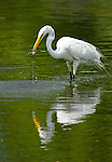 Great Egret, Caught Fish, Cape May Point, South Jersey, NJ