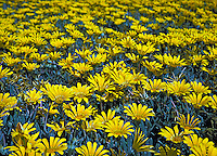 Field of Yellow Daisies, Flowers, Close up, Love, bloom, blooming, blooms, blossom, colorful, flora, flower, flowering, flowers, nature, Garden, USA