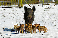 Wild Boar sow with piglets in snow, Chipping, Lancashire, England.