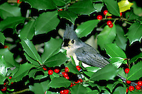 Tufted Titmouse, Parus bicolor, peeking from Holly bush