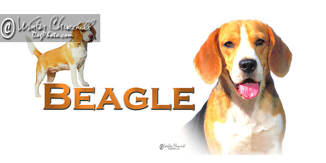Beagle head study and a full length profile This design is offered on gift merchandise ONLY.<br /> <br /> You'll find all the merchandise options listed IN THE CART so add a design to your shopping cart first. All merchandise item are shipped straight to you from our lab in Dallas, Tx.