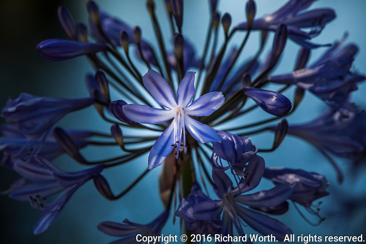 Purple Agapanthus blossoms along an urban path.