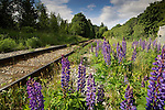Vipers Bugloss growing next to rail track - close to Squamish. North Vancouver, British Columbia, Canada.