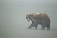 Alaskan brown bear in a sandstorm on a beach in Lake Clark National Park