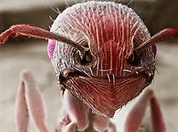 Face of a Pavement Ant showing the antennae, mouthparts, and the compound eyes. SEM X180.
