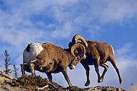 Two bighorn sheep rams butt heads, Northern Rockies.  Fall.