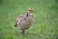 572110270 a wild lesser prairie chicken tympanuchus pallidicintus displays and struts on a lek on a remote ranch near canadian in the texas panhandle