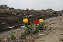 The city of Natori became famous as the live broadcast of the tsunami tearing through it was seen around the world.  A month and a half later, rebuilding is still a distant thought.  Families struggle to sort through their heavily damaged homes.  With the coming spring, flowers bloom in the wreckage of the Nakazuka area...