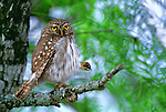 With a gesture that speaks more to human distress than that of a wild animal, a Ferruginous pygmy owl stretching his leg reminds us that, by way of our conscientious actions, all species of wildlife need a helping hand.