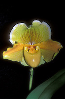 Paphiopedilum Halgwen (Complex Orchid Paph)