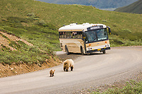 Tourists to Denali National Park watch a grizzly bear sow and spring cub walking down the park road, interior, Alaska.