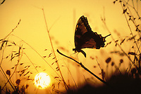 Swallowtail butterfly,Papilio polyxenes, at dusk among prarie dropseed grass and sunset behind