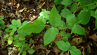 NWA Democrat-Gazette/FLIP PUTTHOFF <br /> Poison ivy is abundant along any trail in the spring, as it was April 27, 2016 on the Shepherd Springs Loop. &quot;Leaves of three, let them be,&quot; is the saying.