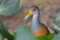 Grey-necked Wood-Rail (Aramides cajanea), Pantanal, Brazil