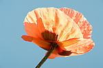 Orange Red Poppy, Papaver rhoeas, Garden, UK