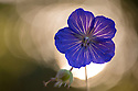 Meadow Cranesbill flower {Geranium pratense} backlit at sunset. Peak District National Park, Derbyshire, UK. August.