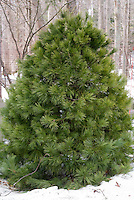Pinus strobus White Pine in winter snow, popular Christmas tree evergreen conifer, live