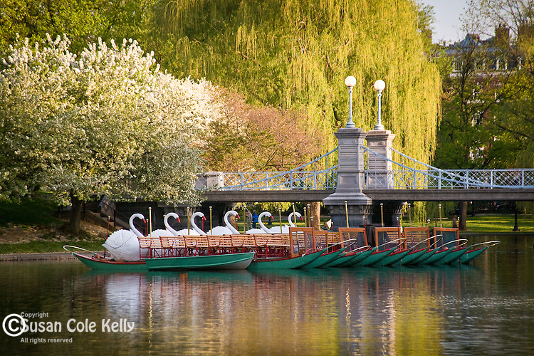Springtime, the Swan boats in Boston Public Garden, Back Bay, Boston, MA