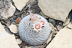 Goflball Pincushion.Mammillaria lasiacantha.Sul Ross State University, Alpine, Texas, United States.20 March      Plant and flowers.      Cactaceae