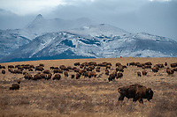 View of Glacier National Park with bison in foreground while passing through East Glacier in late fall