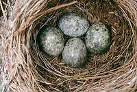 Teichrohrsänger, Ei, Eier, Gelege im Nest, Teich-Rohrsänger, Rohrsänger, Acrocephalus scirpaceus, reed warbler
