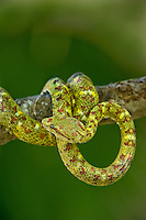 489180007 a captive yellowish green and red spotted eyelash viper bothriechis schlegelii sits coiled on a tree limb species is native to south and central america
