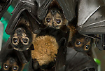 Tolga Bat Hospital -Spectacled Flying Fox (Pteropus conspicillatus)