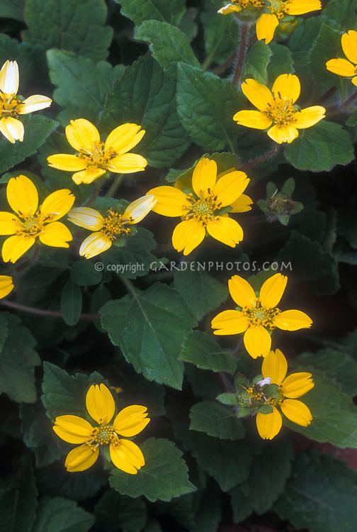 Chrysogonum virginianum Golden Acres native American groundcover in yellow flower in spring