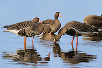 537260005 wild  greater white-fronted geese anser albifrons at colusa national wildlife refuge califonia