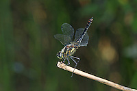 Schwarze Heidelibelle, Sympetrum danae, Black Darter, Black Meadowhawk, Sympétrum noir