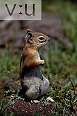 A Golden-Mantled Ground squirrel. (Spermophilus lateralis)