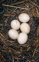 Waldohreule, Nest, Gelege mit Eiern, Eier, Ei, Waldohr-Eule, Asio otus, long-eared owl