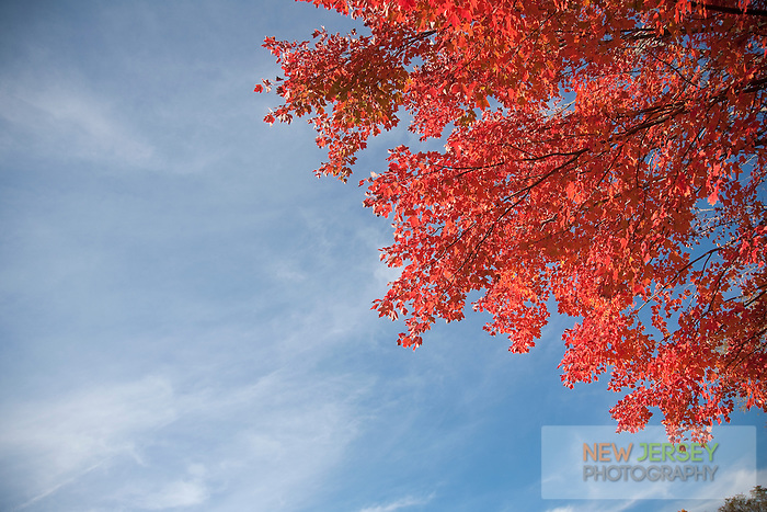 Autumn Maple Leaves, Round Valley Reservoir, Hunterdon County, New Jersey