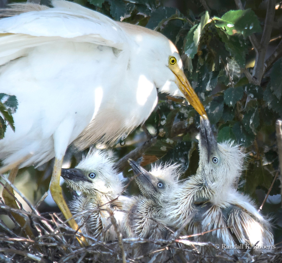 Cattle egret feeds chicks in nest, Ferrill Island, City Park, Denver, Colorado