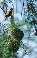 Beutelmeise, Männchen am Nest, Beutelnest, Beutel-Meise, Remiz pendulinus, penduline tit
